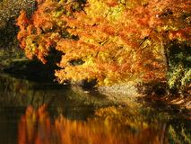 Autumn brilliance. Sunlit fall-colored tree reflected in water below stock photos