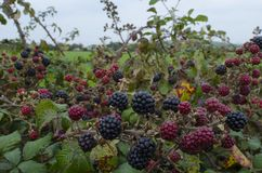 Blackberry Bush with fruit. Royalty Free Stock Photos