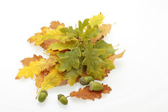 Autumn British oak (Quercus robur) leaves and acorns. Oak leaves in shades of brown, orange, yellow and green, and acorns on a white background Royalty Free Stock Image