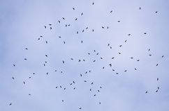 Autumn Broad-Wing Hawk Migration Stock Photo