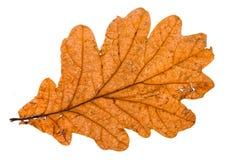 Autumn broken leaf of oak tree isolated. On white background stock photography