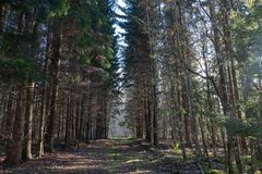 Empty forest road, both sides have large spruce trees; royalty free stock photos
