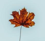 Autumn Brown Maple Leaf In blåttbakgrund Fotografering för Bildbyråer