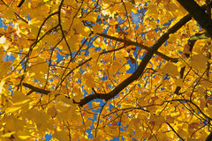 Autumn brunch. Tree brunch with yellow leaves Royalty Free Stock Image