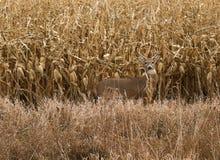 Autumn Buck Lizenzfreie Stockbilder