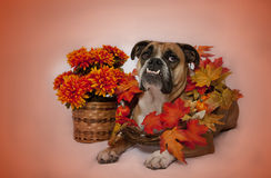 Autumn bulldog portrait Stock Image