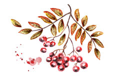 Autumn bunch of Rowan. Watercolor illustration Stock Photo