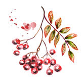 Autumn bunch of Rowan. Watercolor illustration Royalty Free Stock Images