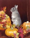 Autumn Bunny Sitting in the leaves and Pumpkins Stock Photos