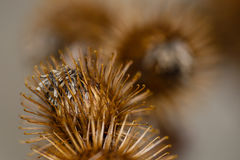 Autumn Burdock Burs Royalty Free Stock Image