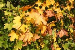 Autumn bush. An autumn bush at the beginning of autumn stock images