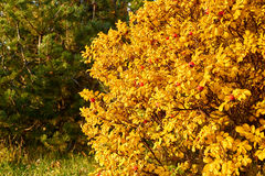 Autumn  bush Stock Photography
