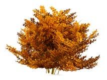 Autumn bush isolated Stock Photography