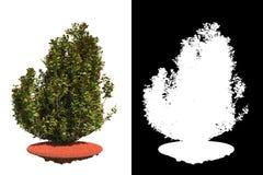 Autumn Bush Isolated on White Background. Stock Images