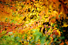 Autumn bush. Bush with multicoloured leaves and berries Stock Image