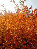 Autumn bush with orange leaves in the sun. Autumn bush with  orange leaves in the sun Royalty Free Stock Photos