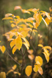Autumn bush with yellow leaves, selective focus Stock Photography