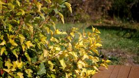 Autumn bush with yellow leaves. In the wind in the sun stock footage
