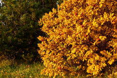Autumn  bush Royalty Free Stock Image