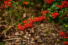 Autumn bushes. Autumn fruit on the bushes, red, dry brown leaves, sun relaxation, the last a beautiful autumn day, a walk in the park or garden Royalty Free Stock Photography