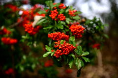 Autumn bushes. Autumn fruit on the bushes, red, dry brown leaves, sun relaxation, the last a beautiful autumn day, a walk in the park or garden royalty free stock photo