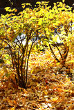 Autumn bushes glowing in the sunlight Royalty Free Stock Photo