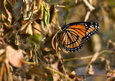Autumn butterfly Royalty Free Stock Photo