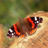 Autumn butterfly Stock Photos