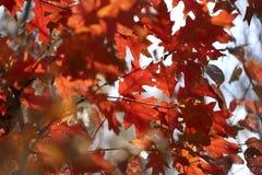 autumn buty deszczowej podlegaj?cych gumowego parasolk? Gałąź dębowy drzewo z czerwienią opuszcza przeciw niebieskiemu niebu fotografia stock