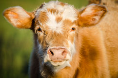 Autumn Calf Immagini Stock Libere da Diritti