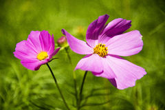 Autumn calliopsis Royalty Free Stock Image