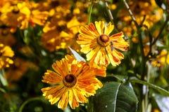 Autumn Camomiles un giorno soleggiato Fotografia Stock Libera da Diritti
