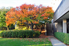 Autumn Campus Scene. Colorful Autumn Tree in Morning Urban Setting Royalty Free Stock Image