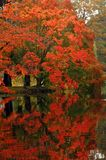Autumn in Canada. Tree with red leaves reflected in calm water, autumn in Canada Royalty Free Stock Photography