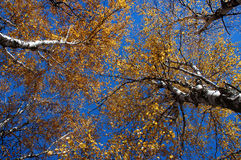 Autumn Canopy. Orange autumn canopy stock images