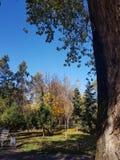 Autumn Canopy av briljanta gula Aspen Tree Leafs i nedgång i Almatyen royaltyfria bilder
