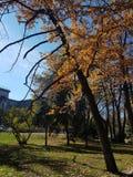 Autumn Canopy av briljanta gula Aspen Tree Leafs i nedgång i Almatyen arkivfoton