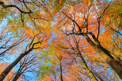 Autumn canopy. Beautiful canopy view in autumn in the Speulder forest in the Netherlands with vibrant colored leaves stock image