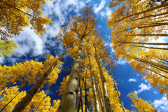 Autumn Canopy de Aspen Tree Leafs amarelo brilhante na queda em Rocky Mountains de Colorado foto de stock