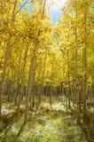 Autumn Canopy de Aspen Tree Leafs amarillo brillante en caída fotografía de archivo libre de regalías