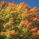 Autumn Canopy - Minnesota Royaltyfria Bilder