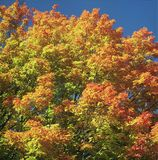 Autumn Canopy - Minnesota Royalty Free Stock Images