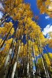 Autumn Canopy van Briljant Geel Aspen Tree Leafs in Daling van Rocky Mountains van Colorado Royalty-vrije Stock Foto