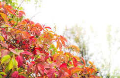 Autumn card. Bright wild grapes Stock Photography