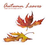Autumn card of colored leafs.  Royalty Free Stock Image