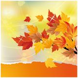 Autumn card with maple tree.  Royalty Free Stock Image
