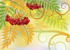 Autumn card with red rowan berry Royalty Free Stock Image