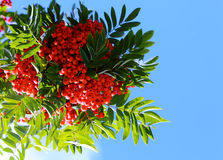 Autumn card of rowan. On a blue sky Royalty Free Stock Photo