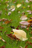 Autumn carpet. Autumn leafs in the green grass macro shot Stock Images