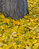Autumn carpet. Fallen leaves of Ginkgo biloba, piled up around their tree trunk Stock Photos
